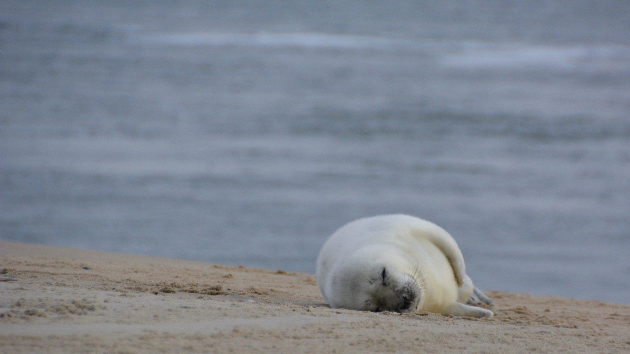 Op de waddeneilanden zijn veel zeehonden te zien.